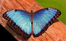 Синяя бабочка на дереве